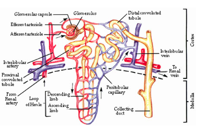 Microfiltration in the renal ducts.